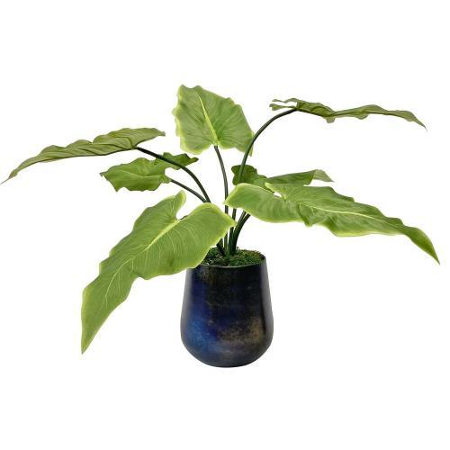 Mari Calla Accent Plant